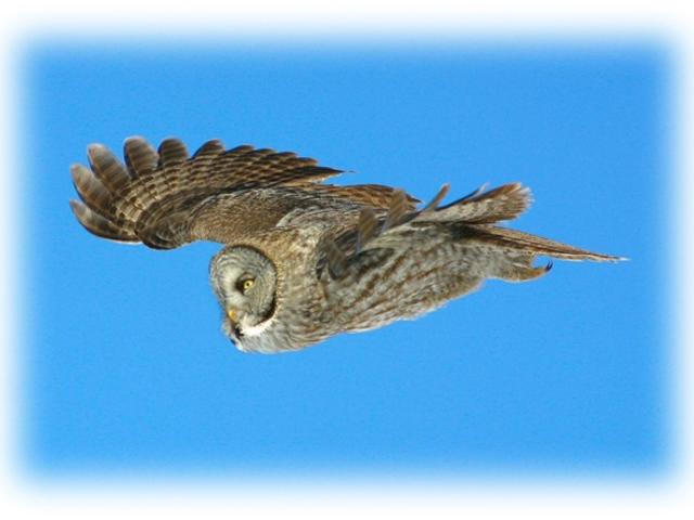 Spotted Great Grey Owl at Churchill Nature Tour