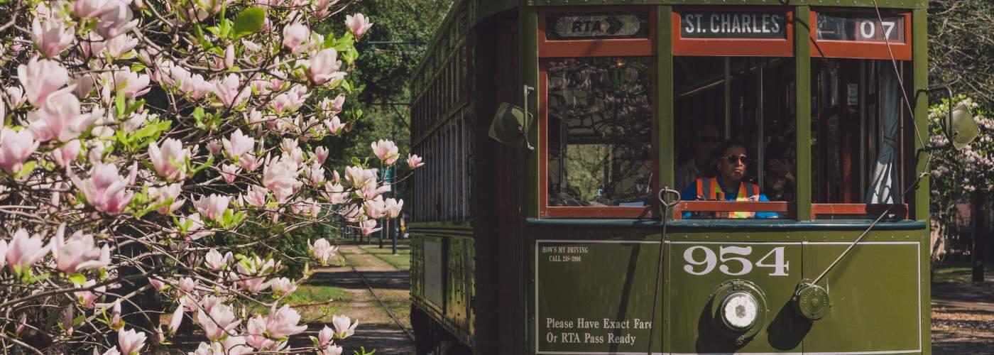 Japanese Magnolias blooming - St. Charles Streetcar - South Carrollton Avenue