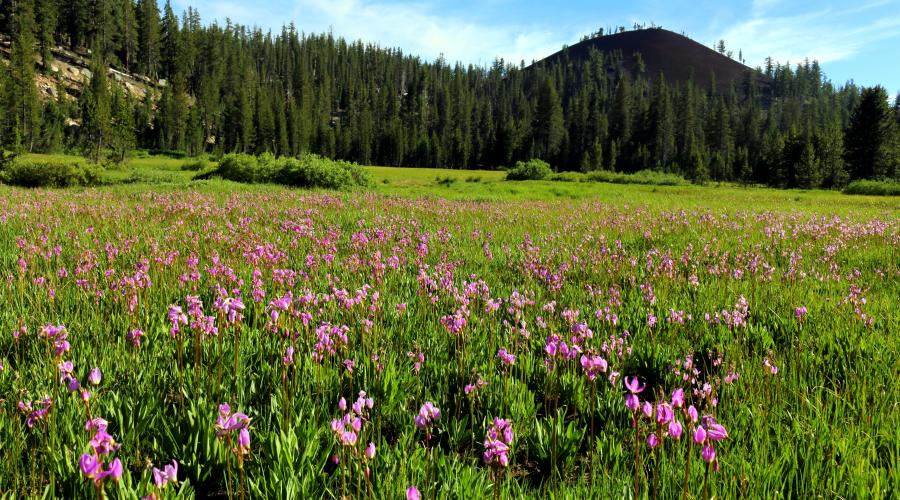Mammoth Wildflowers