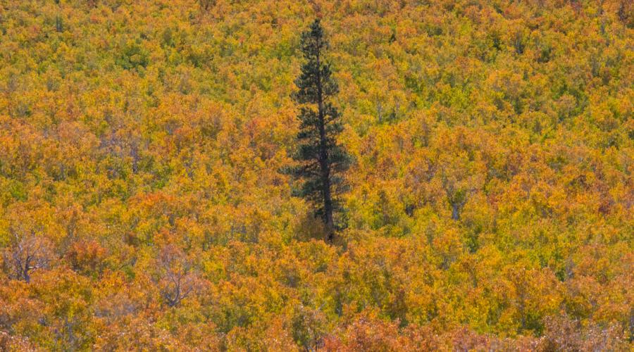 Lone tree at Sagehen Summit