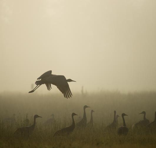 Sandhill Crane Creamers Field Fog