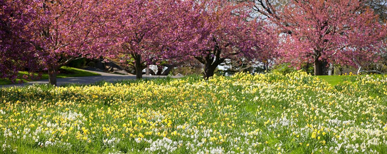 Daffodils - The New York Botanical Garden