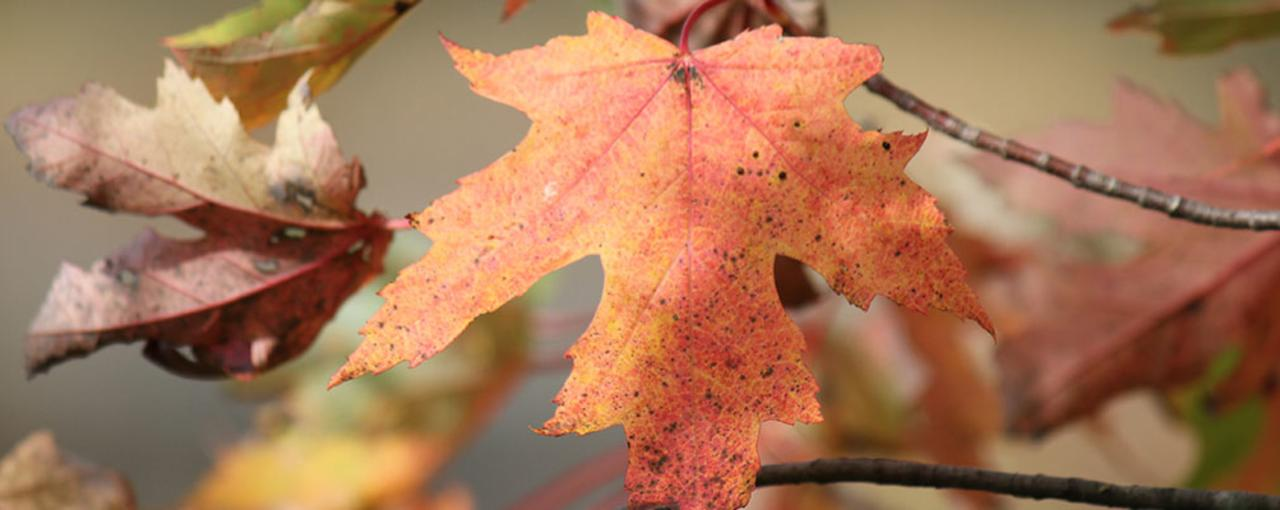 Fall Leaf Identifier Leaves And Fall Foliage Of New York