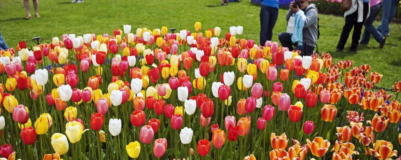 TulipFest-Albany 101