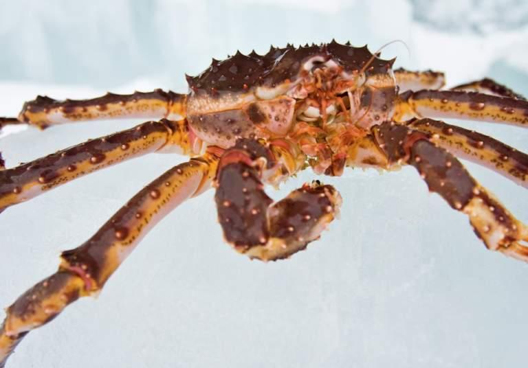 King crab, Kirkenes