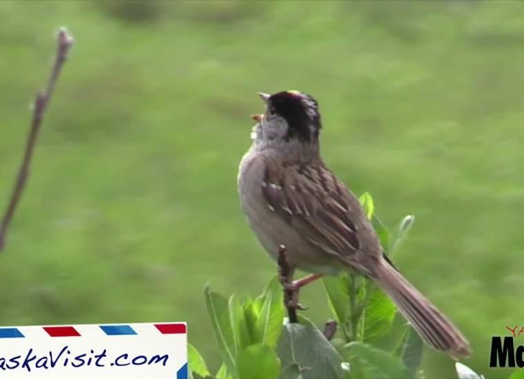 Birding in the Mat-Su Valley