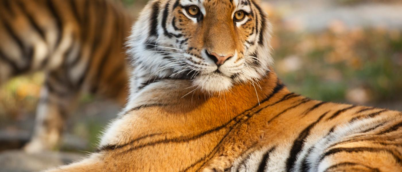 Bronx Zoo, Tiger