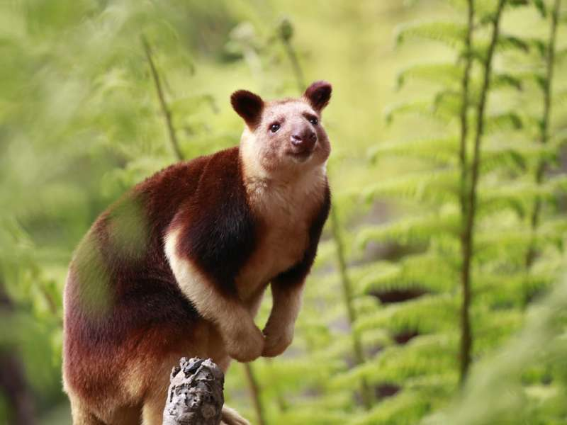 Tree Kangaroo at Healesville Sanctuary, Melbourne Victoria