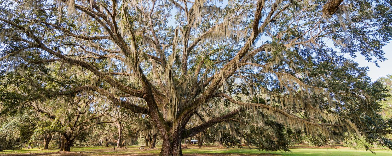 Hofwyl-Broadfield Plantation Oaks