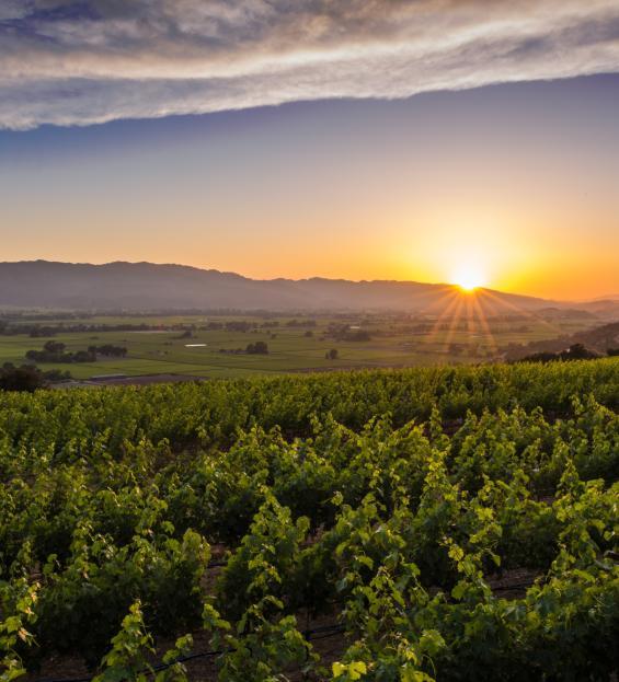 Sunset at Napa Valley vineyard