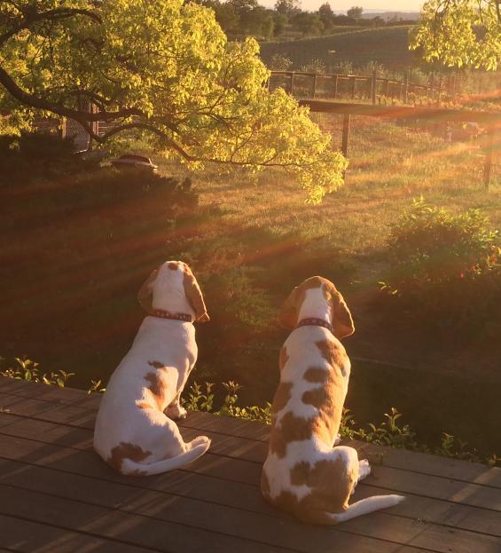 Dogs in Napa Valley Vineyard