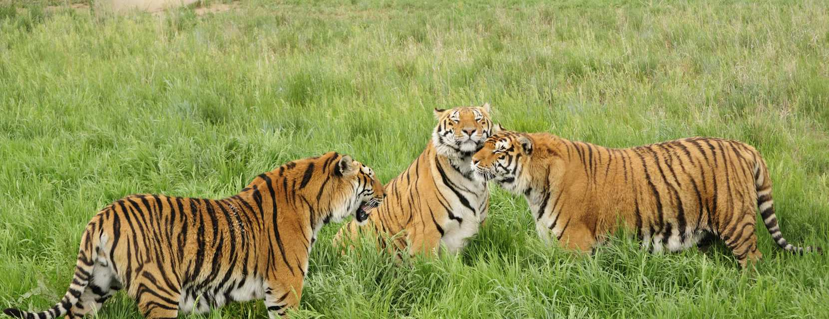 Tigers at the Wild Animal Sanctuary.