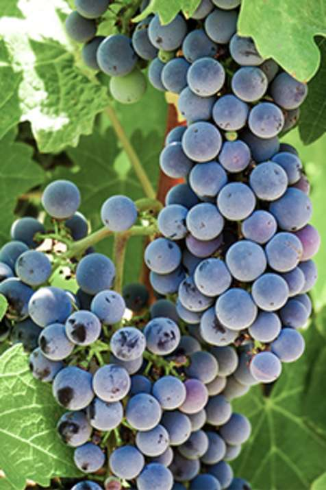 Temecula Grapes