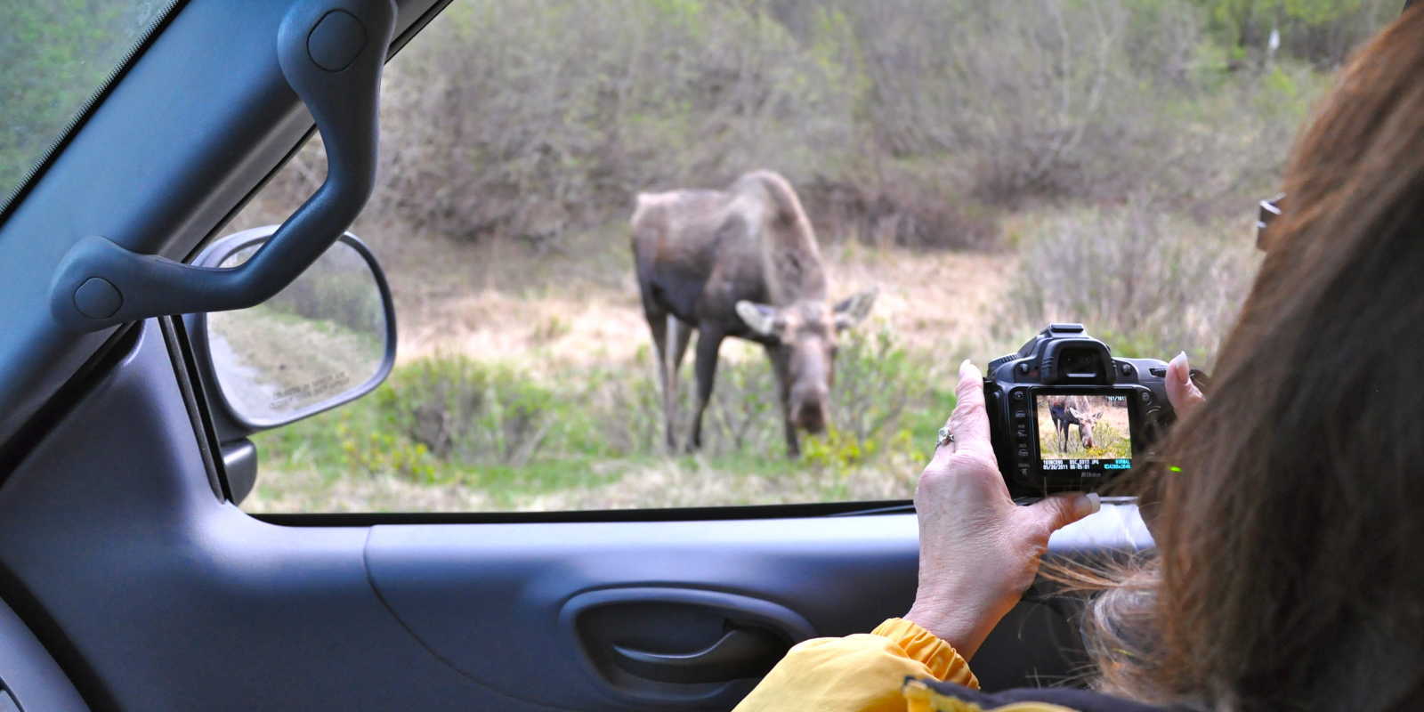 Moose viewing in Anchorage's Kincaid Park
