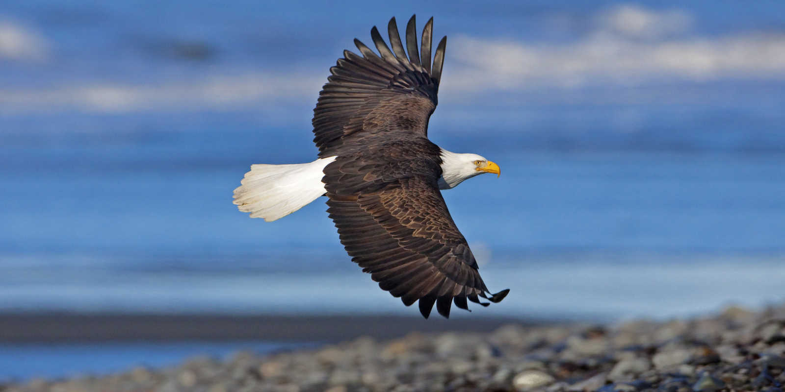 Bald eagle flying near Anchorage