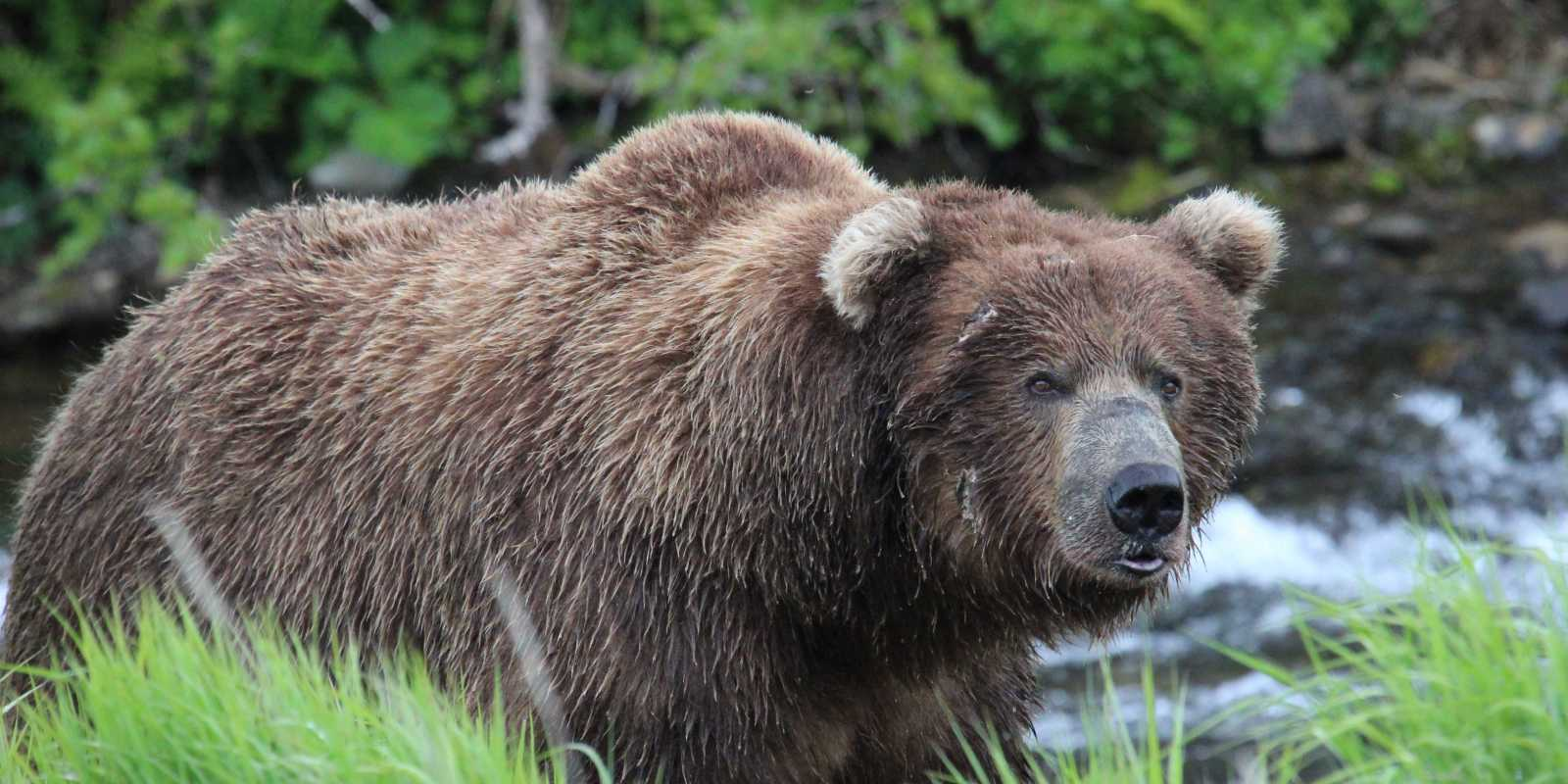Brown Bear viewing tours near Anchorage