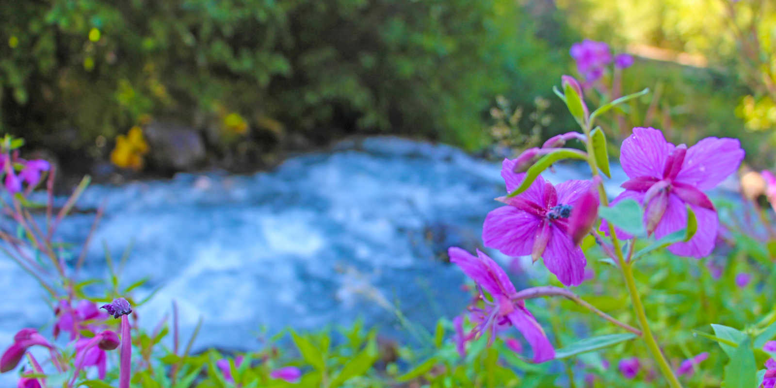 Alaska flowers mountain stream in the Chugach