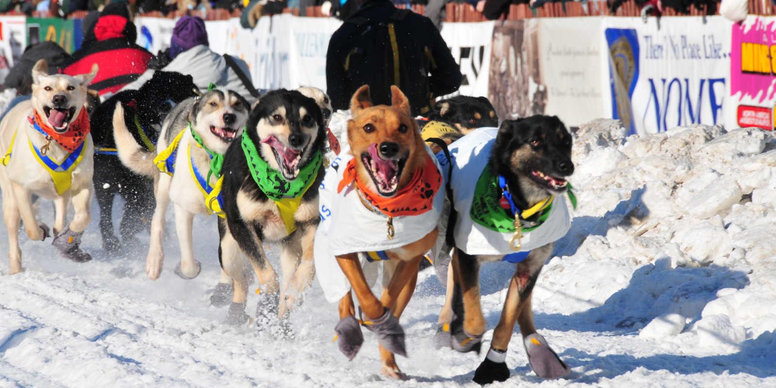 Iditarod Sled Dog Team Fourth Avenue Anchorage Alaska