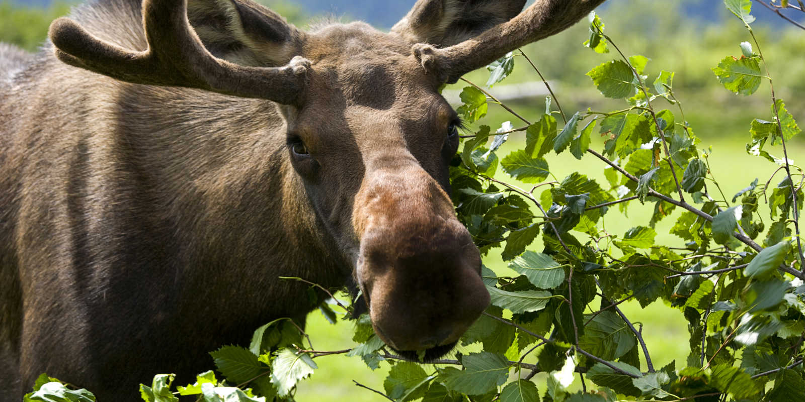 Wildlife sighting of a Moose near Anchorage