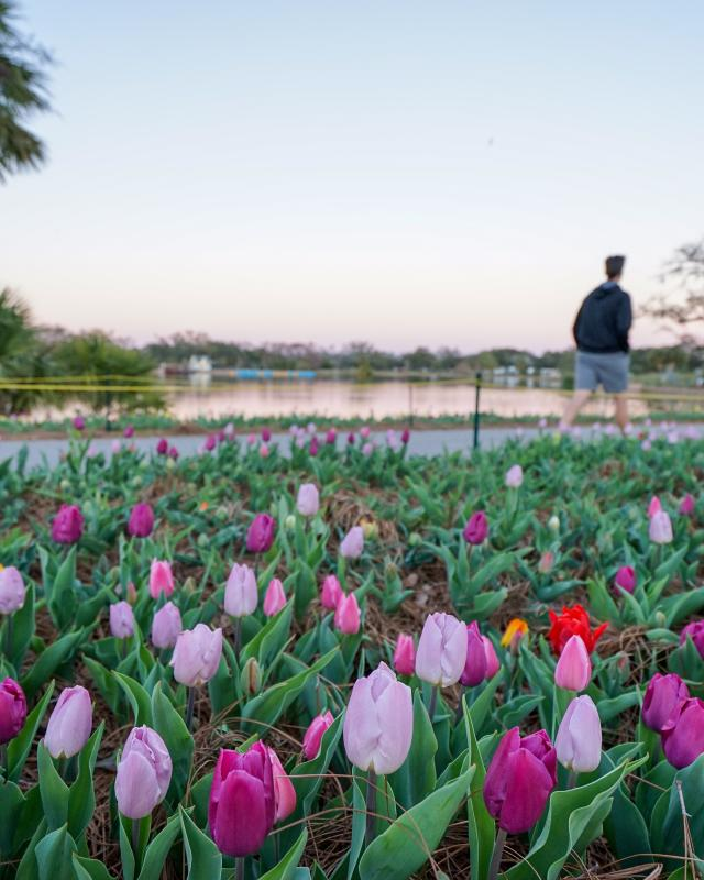 Big Lake at New Orleans City Park - Tulips at Sunset