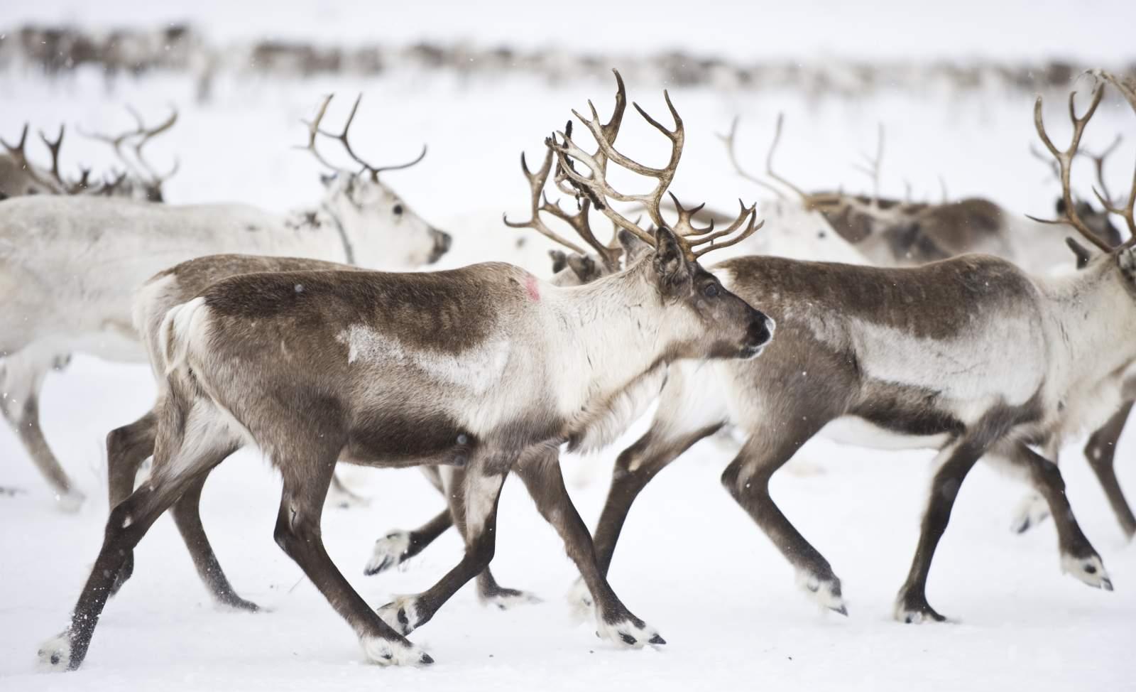 En flokk med reinsdyr på Finnmarksvidda