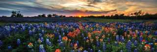 Bluebonnets with a Texas Sunset in the horizon in Bryan College Station