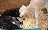 Old Chatham Sheep Herding Company 1195