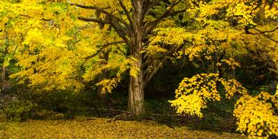 2015 Fall Color: Yellow Tree