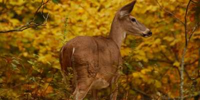 Photo of the Day: Doe in the Woods