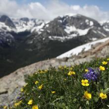 Alpine Tundra Wildflowers