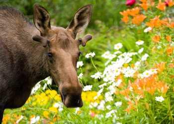 Moose wildlife viewing