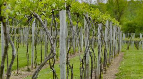 Rushland Ridge Winery Vines