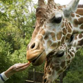 Zoo-Giraffe-352