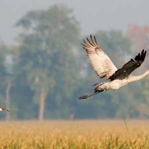 Jasper-Pulaski-Wildlife-Sandhill-Cranes