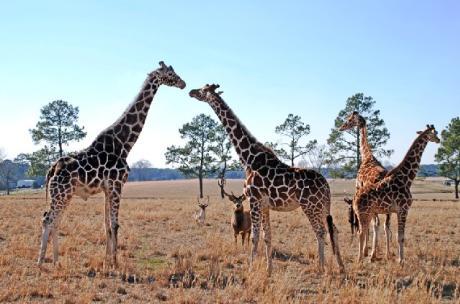Giraffes at Global Wildlife Center