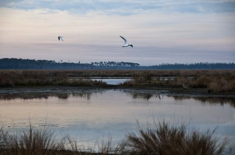 Gulls flying over Big Branch March National Wildlife Refuge at sunset