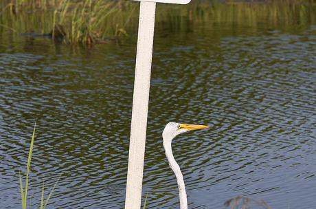 Egret at Big Branch Marsh National Wildlife Refuge