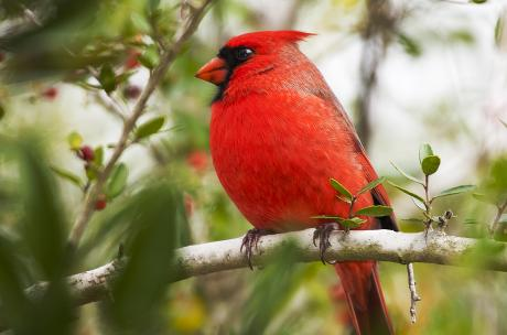 Northern Cardinal at Fontainebleau State Park