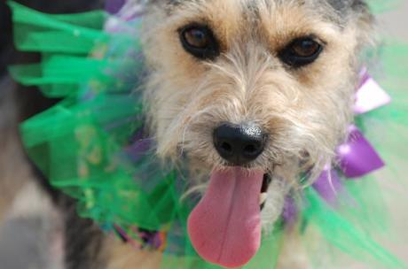 Pups on parade at the Mystic Krewe