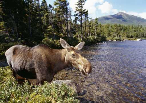 Moose Mount Katahdin The Maine Highlands