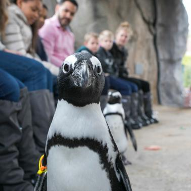 Penguin observation at the Lincoln Park Zoo
