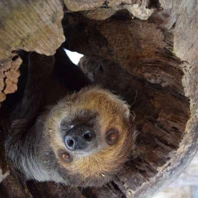 Living Treasures Sloth