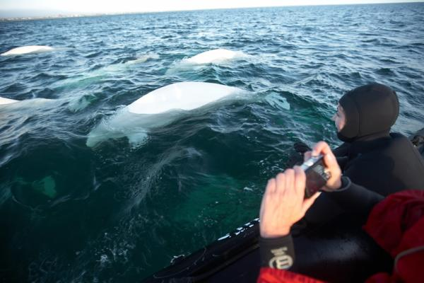 Beluga whale watching from the boat in Churchill