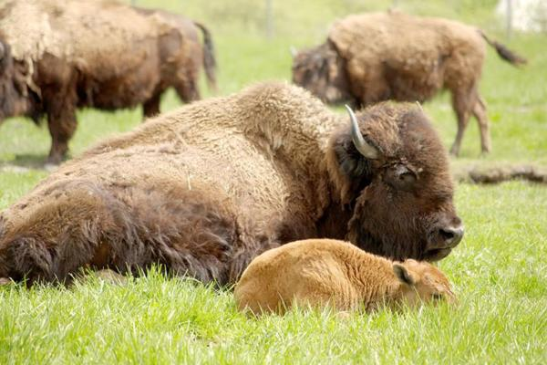 Bison and calf lying in the grass at Fort Whyte Alive!