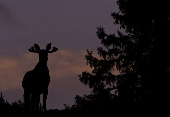 A moose standing on a hill with a purple sky behind it and som dark trees on the side
