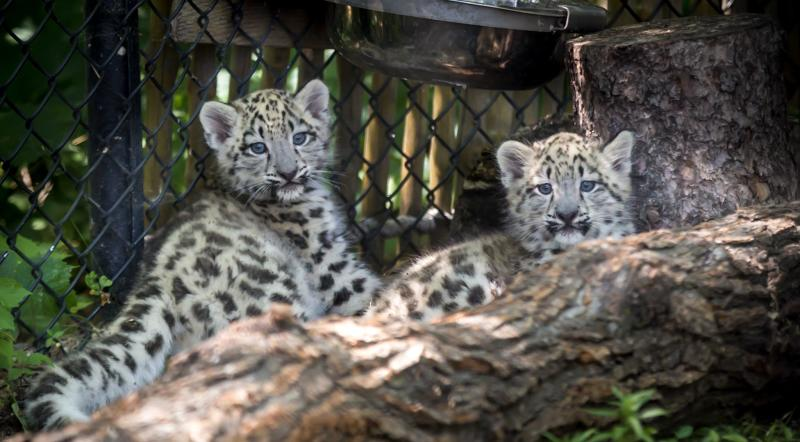 Assiniboine Park Conservancy_baby snow leopards