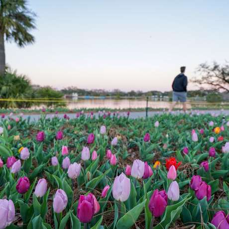 Big Lake at New Orleans City Park - Tulips at Sunset