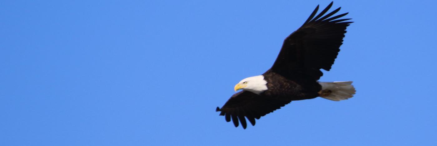bald eagle at monroe lake