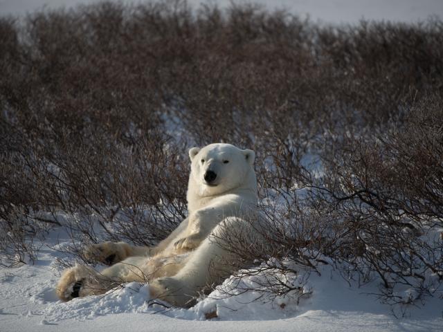 Lounging Polar Bear