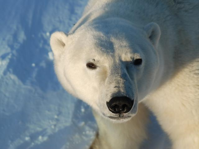 Looking into a polar bears eyes on a tour with Heartland international